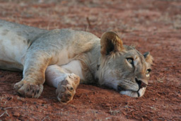 Tess, an adult female lioness with 4 small cubs, was rescued from a poachers snare by scientist at Lion Conservation Fund